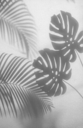 shadows palm leaves and monstera leaf on concrete textured wall surface background. White and Black tone