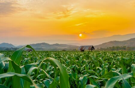 green corn field in agricultural garden and light shines sunset on countryside of Thailand Stock fotó