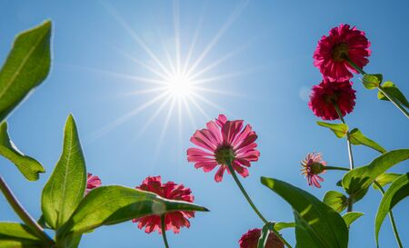 Beautiful bottom view pink Zinnia flower (Zinnia violacea Cav.) on blue sky with the sun shines in the day
