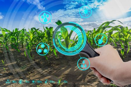 Hand holding magnifying glass in growing young maize agricultural farm field with modern technology concepts Stock fotó