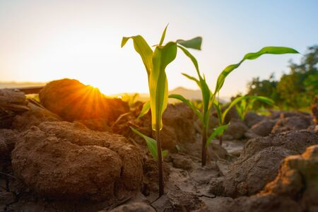 Maize seedling in the agricultural garden with the sunset, Growing Young Green Corn Seedling