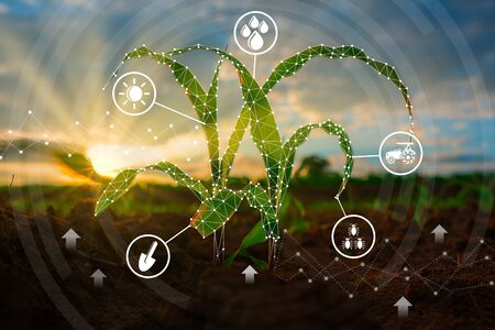 Maize seedling in the cultivated agricultural field with low poly graphic style, Modern technology concepts