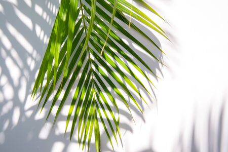 green palm leaf and shadows on a white background