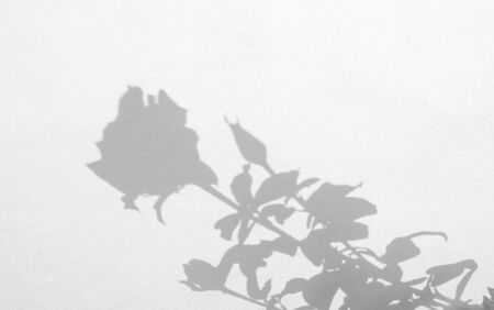 shadows of roses flower and leaf  on a white concrete wall background