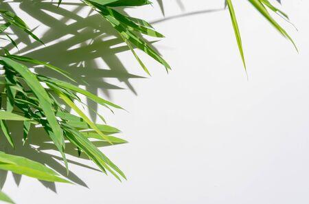green leaf bamboo and shadows on white background Zdjęcie Seryjne