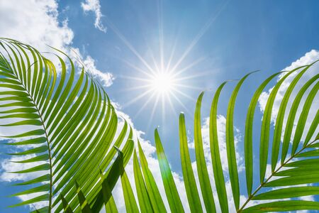 close up green palm leaf on blue sky with sun shining in summer