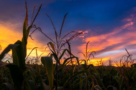corn field and twilight sky and cloud evening after sunset Reklamní fotografie