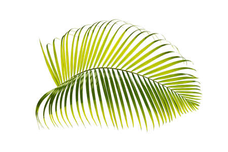 close up green palm leaf isolated on white background with clipping path