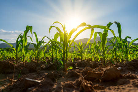 Maize seedling in the agricultural garden with the sunset, Growing Young Green Corn Seedling 스톡 콘텐츠 - 152434776