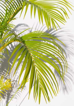 palm leaf and shadows on a white background 스톡 콘텐츠 - 154928040