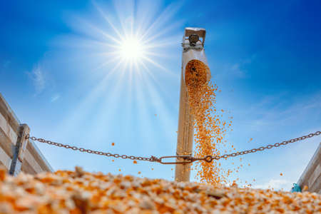 corn grains falling from combine harvesting in the truck with sun shine and blue sky 스톡 콘텐츠 - 154928002
