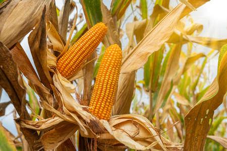yellow dry ripe corn on the field 스톡 콘텐츠