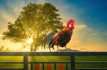 one rooster on house fence in the morning 写真素材