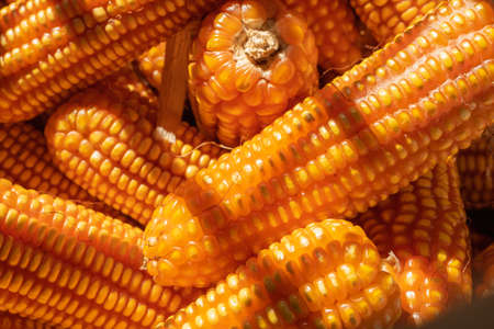 close up of pile ripe yellow dried corn harvested 스톡 콘텐츠 - 154927902