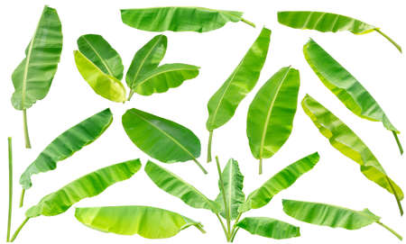 collection set of green banana leaf isolated on white background 写真素材