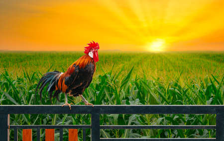 one rooster on house fence with green corn field and sunrise in the morning