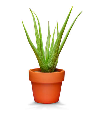 Aloe vera in pots isolated on white background 写真素材