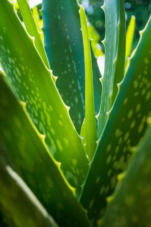 close up of green Aloe vera herbal plants, tropical plant 写真素材