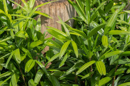 Green lady palm or Bamboo (Rhapis laosensis Becc) in the garden, Houseplant Archivio Fotografico - 156997143