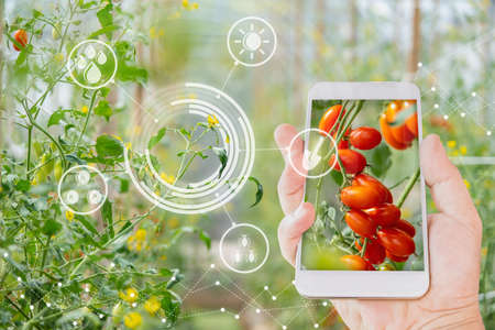 Hand using mobile phone inspecting red cherry tomato agricultural garden with concept modern technologies 写真素材