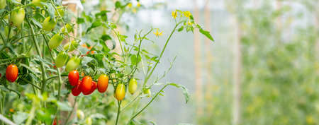 red cherry tomato on vine in agricultural garden is healthy fruit with copy space use for background concept natural 写真素材