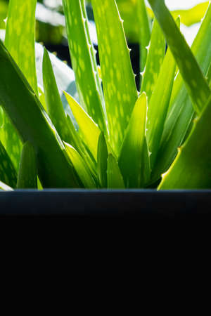 close up of green Aloe vera herbal plants with copy space, tropical plant