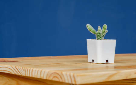 small Opuntia microdasys Cactus, Bunny Ears Cactus, Bunny-ear Prickly Pear in white plant pot on wooden table with blue background and copy space Archivio Fotografico - 156996491