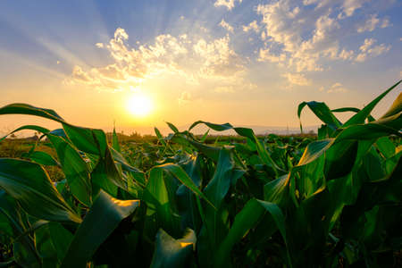 green corn field in agricultural garden and light shines sunset