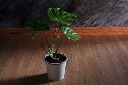 close-up of Monstera plant in white  pots on wooden floor decorate in room with shadow