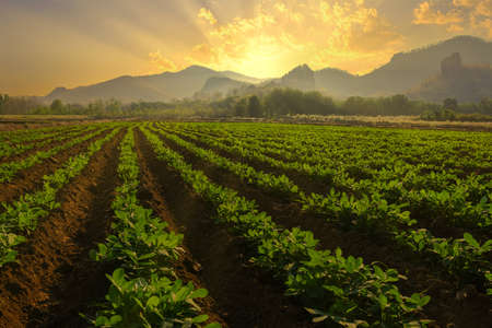 Landscape of peanuts plantation in countryside Thailand near mountain at evening with sunshine, industrial agriculture