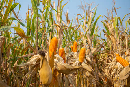 yellow ripe corn on stalks for harvest in agricultural cultivated field 스톡 콘텐츠
