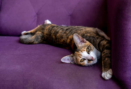 Multicolored  fur cat lying happily on purple sofa with copy space