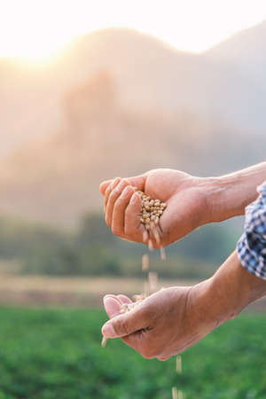 white beans seed in farmer hand pouring into hand with plantation farm background at evening with sunshine, industrial agriculture, Vertical image