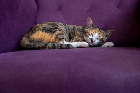 Multicolored  fur cat sleeping on purple sofa with copy space 스톡 콘텐츠
