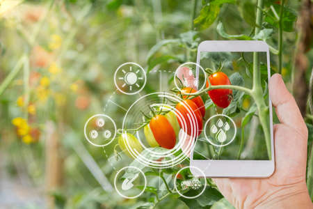 Hand using mobile phone inspecting red cherry tomato agricultural garden with concept modern technologies 스톡 콘텐츠