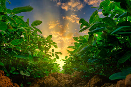 low angle of peanuts plantation in countryside at evening with sunshine, industrial agriculture 스톡 콘텐츠