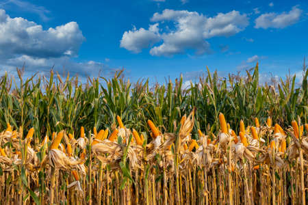 yellow ripe corn on stalks for harvest in agricultural cultivated field with blue sky in the day 스톡 콘텐츠