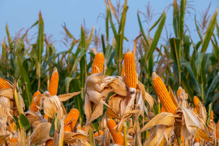 yellow ripe corn on stalks for harvest in agricultural cultivated field in the day 스톡 콘텐츠