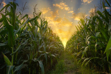 green corn field in agricultural plantation and light shines sunset in the evening