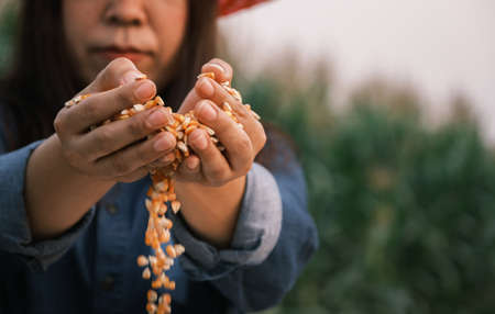 Yellow ripe corn grain in woman farmer hand pouring with plantation farm 스톡 콘텐츠