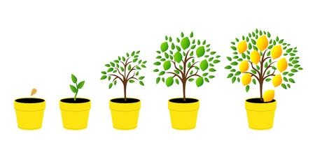 Dynamik Zitronenbaum mit grünen Blättern. Vektorillustration einer Phase des Pflanzenwachstums. Flacher Stil. Satz der Pflanzenwachstumszitrone im Topf.