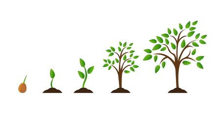 Baumwachstumsdiagramm mit grünem Blatt, Naturpflanze. Satz von Abbildungen mit Phasen Pflanzenwachstum. Flacher Stil. Standard-Bild