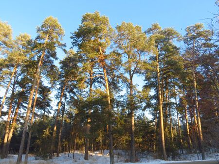 Beautiful spruce forest. The rays of the sun