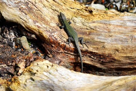 Sand lizard without fear, sitting on an old log. The spring sun warms the lizard's scales. It lives along The black sea coast. Foto de archivo