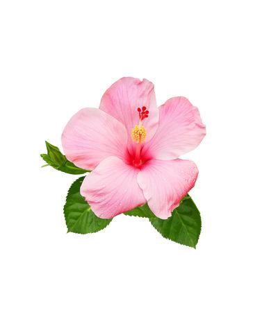 Hibiscusblume getrennt auf weißem Hintergrund