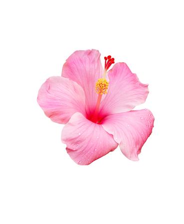 白い背景に分離されたハイビスカスの花 写真素材