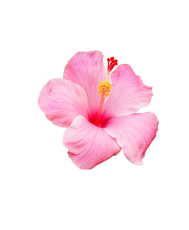 Flor de hibisco aislada sobre fondo blanco Foto de archivo - 77826399