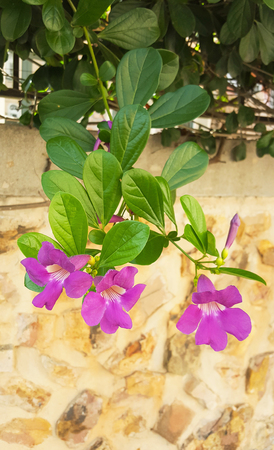 Natural plant green ivy and purple flowers on the wall background Stock Photo