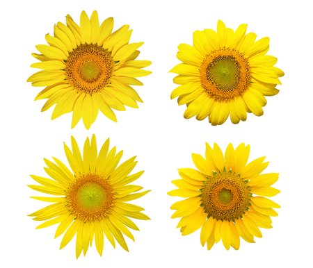 Collection of Sunflowers blooming flower isolated on white background