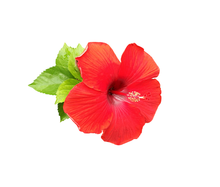 Hibiscus flower isolated on white background Stock Photo - 84608510